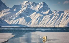 Картинка зима, свет, снег, горы, берег, склоны, вершины, лёд, ледник, медведь, тени, белые, белый медведь, водоем, …