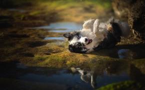 Картинка вода, радость, настроение, собака, Бордер-колли