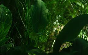 Картинка зелень, трава, листья, свет, цветы, весна, ландыши