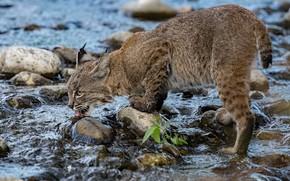 Картинка вода, река, камни, жажда, рысь, дикая кошка