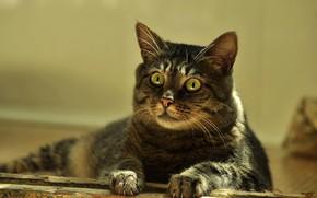Картинка портрет, взгляд, лежит, кошка, свет, серый, полосатый, зеленые глаза, кот