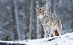 Картинка лес, снег, боке, Койот, Владимир Морозов, Луговой волк