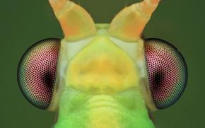 Картинка глаза, макро, фон, насекомое