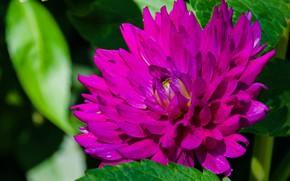Картинка цветок, макро, розовый, малиновый, георгин