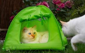 Картинка кошка, кот, взгляд, морда, кошки, поза, сад, палатка