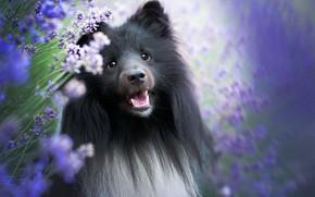 Картинка морда, портрет, собака, лаванда, Шелти, Шетландская овчарка