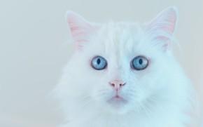 Картинка кошка, белый, кот, взгляд, морда, фон, портрет, светлый, белая, голубые глаза, пушистая, ангорская