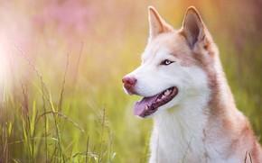 Картинка язык, трава, взгляд, морда, свет, природа, портрет, собака, рыжая, голубые глаза, хаски