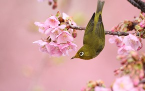 Картинка цветы, ветки, природа, поза, птица, весна, птичка, розовый фон, цветение, маленькая, японская, яркая, весеннее, белоглазка, …