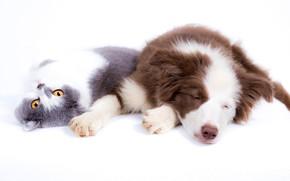 Картинка кошка, кот, отдых, собака, белый фон, друзья