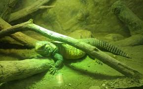 Картинка calm, animal, zoo, lizard, reptile, still