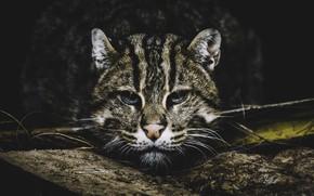 Картинка взгляд, портрет, кот-рыболов