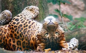 Картинка лес, кошка, взгляд, морда, поза, портрет, хищник, леопард, лежит, дикая, дикая природа