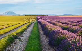 Картинка поле, небо, цветы, горы, ряды, лаванда, тропинки, плантация, кустики, лавандовое