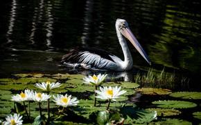 Картинка цветы, озеро, пруд, темный фон, птица, водяные лилии, водоем, пеликан, нимфеи