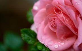 Картинка цветок, листья, вода, капли, макро, природа, роза