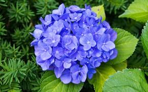 Картинка листья, макро, цветы, сад, голубые, сиреневые, гортензия