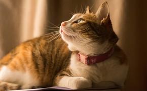 Картинка кошка, кот, взгляд, фон, рыжий, лежит, профиль, ошейник, полосатый, мягкий свет, смотрит вверх