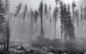 Картинка лес, деревья, природа, туман, black & white, черно-белое, монохром