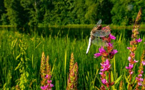 Картинка лес, лето, макро, цветы, природа, поляна, стрекоза, розовые