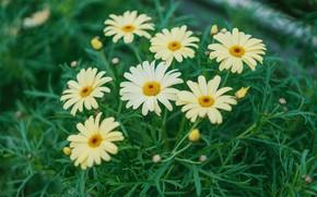 Картинка зелень, листья, цветы, ромашки, желтые, сад, белые, клумба, пиретрум