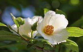 Картинка цветы, ветка, белые, японская, стюартия, псевдокамеллия