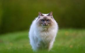 Картинка кошка, трава, кот, взгляд, поза, мордочка, прогулка, лужайка, зеленый фон, рэгдолл