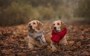 Картинка осень, животные, собаки, взгляд, листья, природа, пара, шарфы, ретриверы, Виктория Дубровская