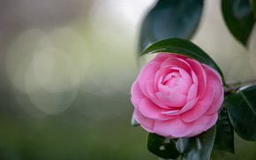 Картинка цветок, листья, фон, розовая, ветка, боке, камелия