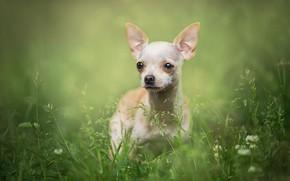 Картинка трава, взгляд, природа, портрет, собака, белая, собачка, зеленый фон, чихуахуа