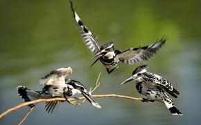 Картинка птицы, трио, пятнистые, зимородки