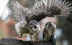 Картинка взгляд, птицы, фон, дождь, сова, две, крылья, перья, пара, доска, совы, серые, парочка, друзья, взмах, ...