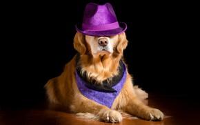 Картинка фон, собака, шляпа, нос