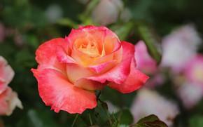 Картинка роза, лепестки, красавица