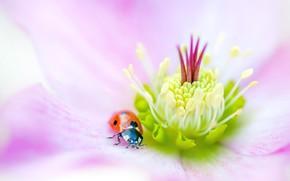 Картинка цветок, макро, красный, фон, розовый, божья коровка, жук, размытие, тычинки, насекомое, жучок