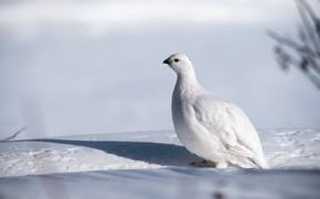 Картинка зима, белый, снег, фон, птица, тень, белая, куропатка