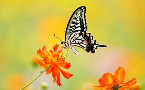 Картинка макро, цветы, фон, бабочка, космея