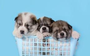 Картинка фон, голубой, щенки, малыши, корзинка, сидят