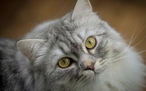 Картинка кошка, кот, взгляд, морда, серый, портрет, пушистый, желтые глаза