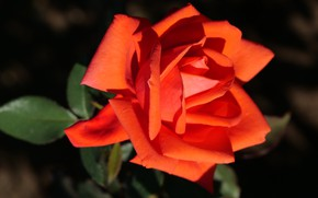 Картинка цветок, темный фон, роза, оранжевая