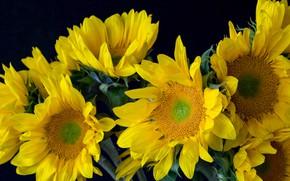 Картинка подсолнухи, цветы, крупный план, букет, желтые, лепестки, черный фон