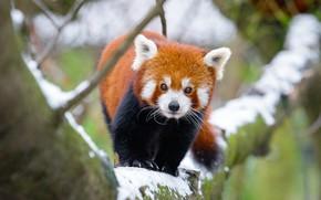 Картинка зима, взгляд, снег, ветки, природа, фон, дерево, лапы, зверек, красная панда, прогулка, мордашка, милашка, боке, …