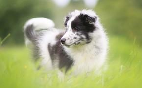 Картинка зелень, трава, поляна, портрет, собака, щенок, австралийская овчарка, пестрая, аусси