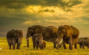 Картинка поле, слон, слоны, семейство, стадо, слониха, слоненок, стадо слонов