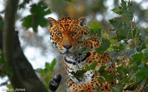 Картинка взгляд, морда, листья, деревья, ветки, природа, хищник, ягуар, боке