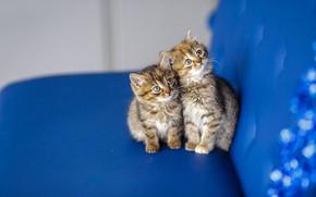 Картинка кошка, взгляд, синий, котенок, фон, диван, мордочка, котята, милый, котёнок, малыши, парочка, два, пестрые, два …