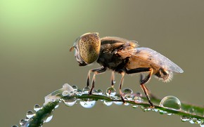 Картинка капли, макро, роса, муха, фон, листок, насекомое, травинка, капли воды, мушка