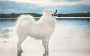 Картинка небо, взгляд, вода, природа, поза, берег, собака, белая, стоит, водоем, самоед