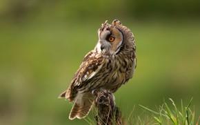 Картинка трава, взгляд, природа, поза, сова, птица, зеленый фон, филин