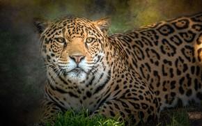 Картинка хищник, пятна, ягуар
